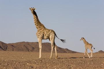 Desert giraffe (Giraffa camelopardalis capensis) with her young, Namibia, Africa