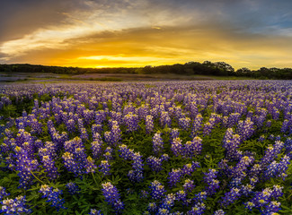 Texas bluebonnet field in sunset at Muleshoe Bend