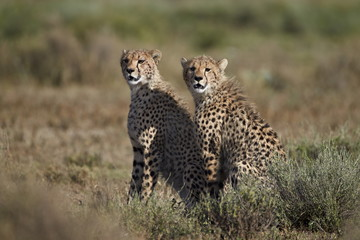 Two cheetah (Acinonyx jubatus), Serengeti National Park, Tanzania, East Africa, Africa