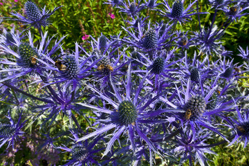Blue thistle like flower of ERYNGIUM ALPINUM 'BLUE STAR' in a herbaceous border.