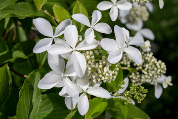 Hortensia Hidrangea - beautiful plant with flowers and leaves - details on the flower. blossom of white Hydrangea (Hortensia) in a garden