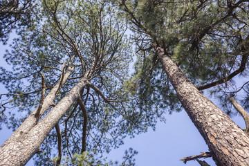Trees Pine