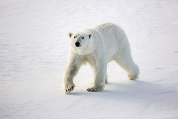 Adult polar bear (Ursus maritimus) on first year sea ice in Olga Strait, near Edgeoya, Svalbard, Arctic, Norway, Scandinavia, Europe