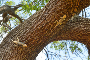 Lizards chasing on the tree