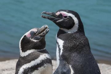 Magellanic penguins (Spheniscus magellanicus), Peninsula Valdez, UNESCO World Heritage Site, Argentina, South America
