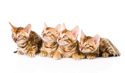 group bengal kittens looking away. isolated on white background
