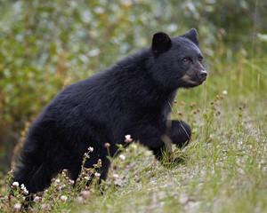 Black bear (Ursus americanus) cub of the year in the fall, Jasper National Park, UNESCO World Heritage Site, Alberta, Canada, North America