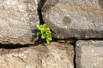 Sukkulenten Pflanze in Steinwand
