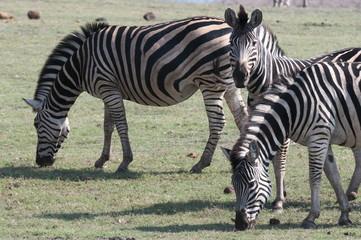 Common zebras (Equus quagga), Chobe National Park, Botswana, Africa