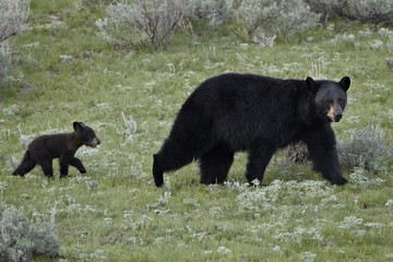 Black bear (Ursus americanus) sow and a cub of the year, Yellowstone National Park, Wyoming, United States of America, North America