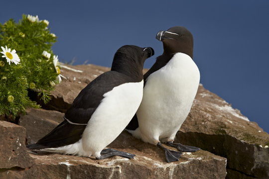 Razorbill (Alca torda) pair, Iceland