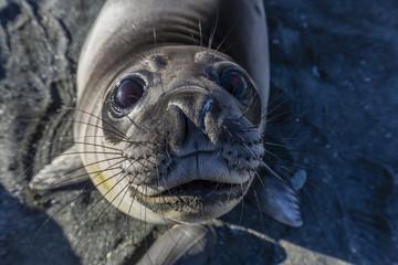 Curious southern elephant seal pup (Mirounga leonina), Gold Harbor, South Georgia, Polar Regions