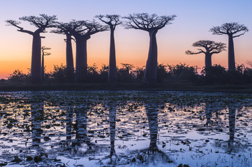 Baobab trees reflected in water at sunset,  Madagascar