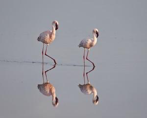 Two lesser flamingo (Phoeniconaias minor), Serengeti National Park, Tanzania, East Africa, Africa