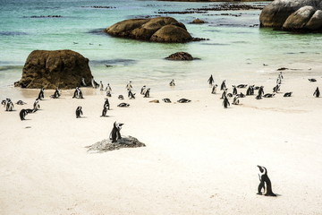 African penguins at Foxy Beach, Boulders Beach National Park, Simonstown, South Africa, Africa