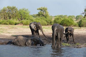African elephants (Loxodonta africana), Chobe National Park, Botswana, Africa