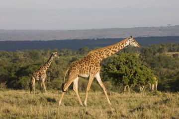 Masai giraffe (Giraffa camelopardalis tippelskirchi), Masai Mara National Reserve, Kenya, East Africa, Africa