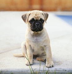 a cute chihuahua pug mix puppy (chug) looking at the camera