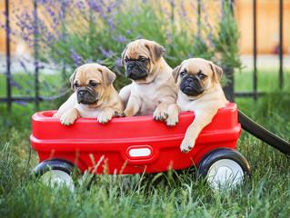 Three  pug chihuahua mix - chug-  puppies  in a red wagon