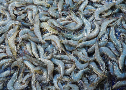 Shrimp Raw Food