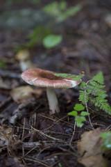 Fungas - Mushroom