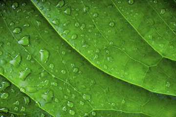 background of green wet leaf of an exotic plant with water drops