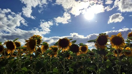 Fototapete - Sunflower field and clouds - time lapse effect