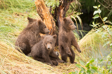 One bear cub standing and three sitting