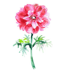 Red watercolor anemone .  Beautiful flower