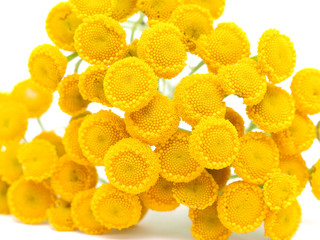 Tansy on a white background
