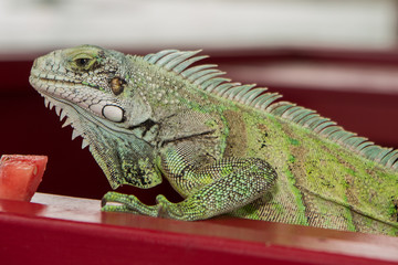 Iguana lizard portrait close-up