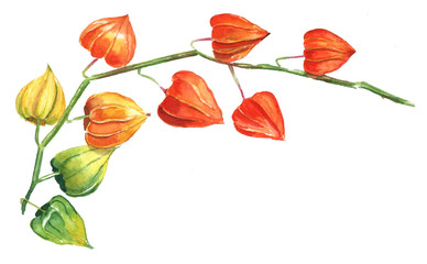A watercolour drawing of a branch of physalis