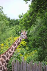 Rothschilds Giraffe