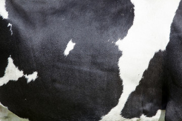 side of cow with black and white hide