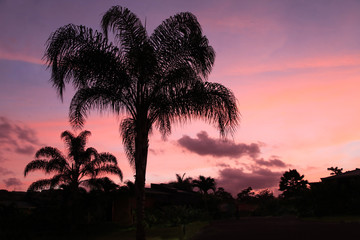 Tropical Pink and Blue Sunset Behind Royal Palm Silhouettes