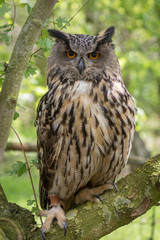 Wall Mural - European Eagle Owl perched in a tree with a green foliage background