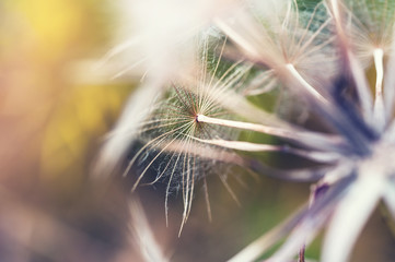 Macro image of big beautiful dandelion.