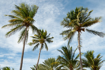 Palm trees in a gentle Caribbean breeze.