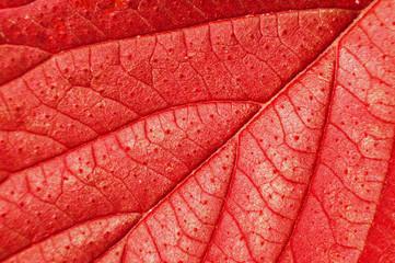 Wall Mural - Macro of red leaf.