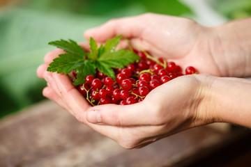 Redcurrant picking