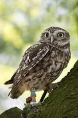 Little owl perched in a tree with green background.
