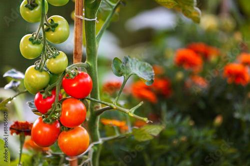 tomaten reifen im garten stockfotos und lizenzfreie bilder auf bild 88456627. Black Bedroom Furniture Sets. Home Design Ideas