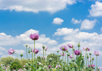 Opium Poppy (Papaver somniferum) Field against beautiful cloudy sky