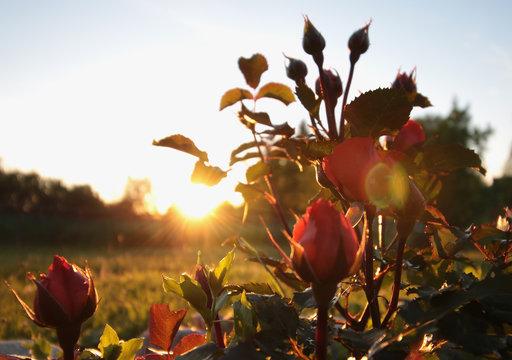 wild rose at sunset