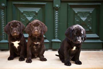 three young labrador retriever puppies sitting at front door