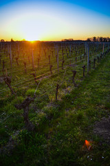 Vines in winter at Pomerol-View Vineyard at sunset.