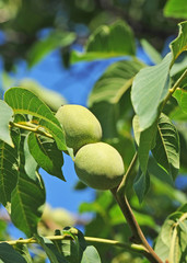 Walnut tree (Juglans regia) branch with fruit