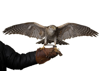 hawk isolated spreading wings