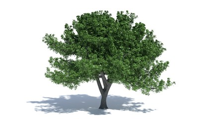 3d illustration of an oak tree