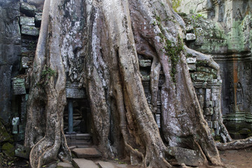 Giant tree roots cover part of the temple complex at Ta Prohm.near Siem Reap, Cambodia